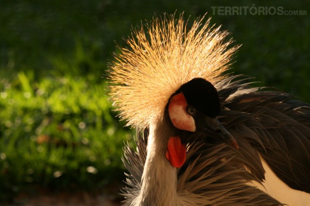 Crown-crested Cranes