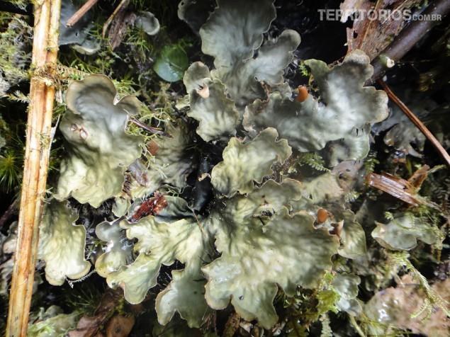 Plantes lembram algas marinhas