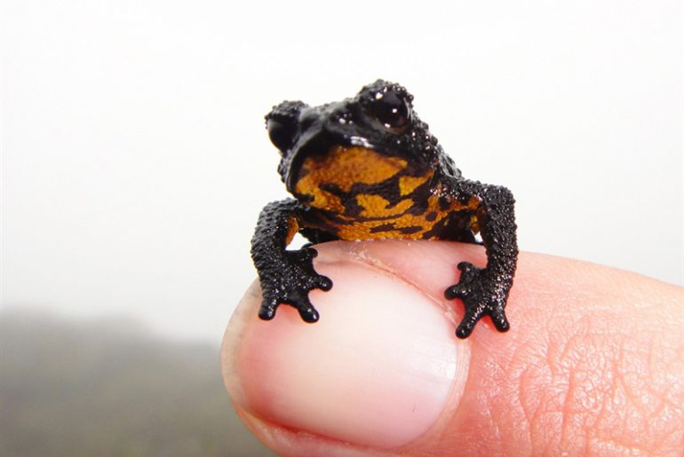 Oreophrynella Quelchii endemic frog