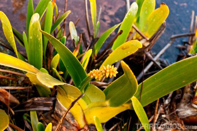 Stegolepis guianenses